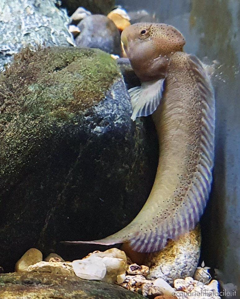 La Salaria fluviatilis ha il corpo allungato e una colorazione marrone verdastra