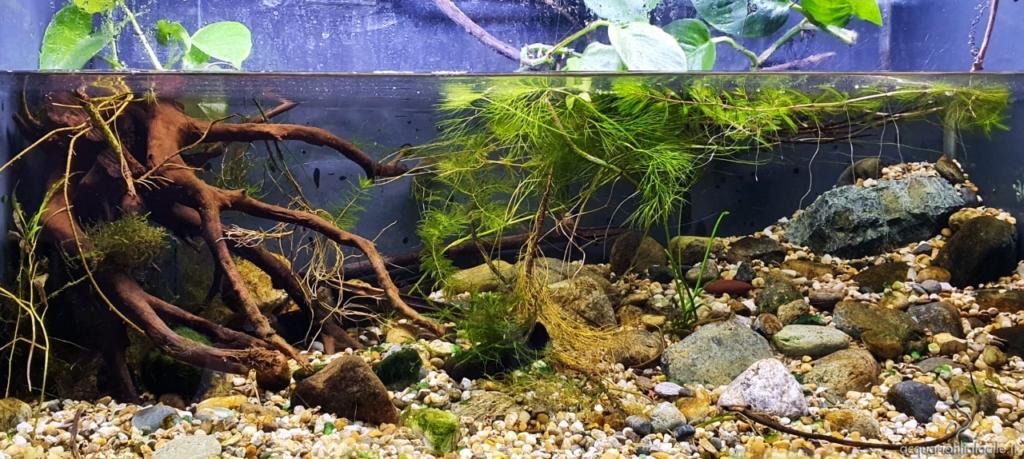 Esempio di allestimento di un acquario per la Salaria fluviatilis