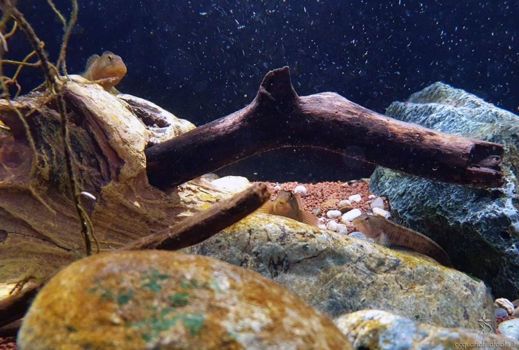 Esemplari di Salaria fluviatilis in acquario