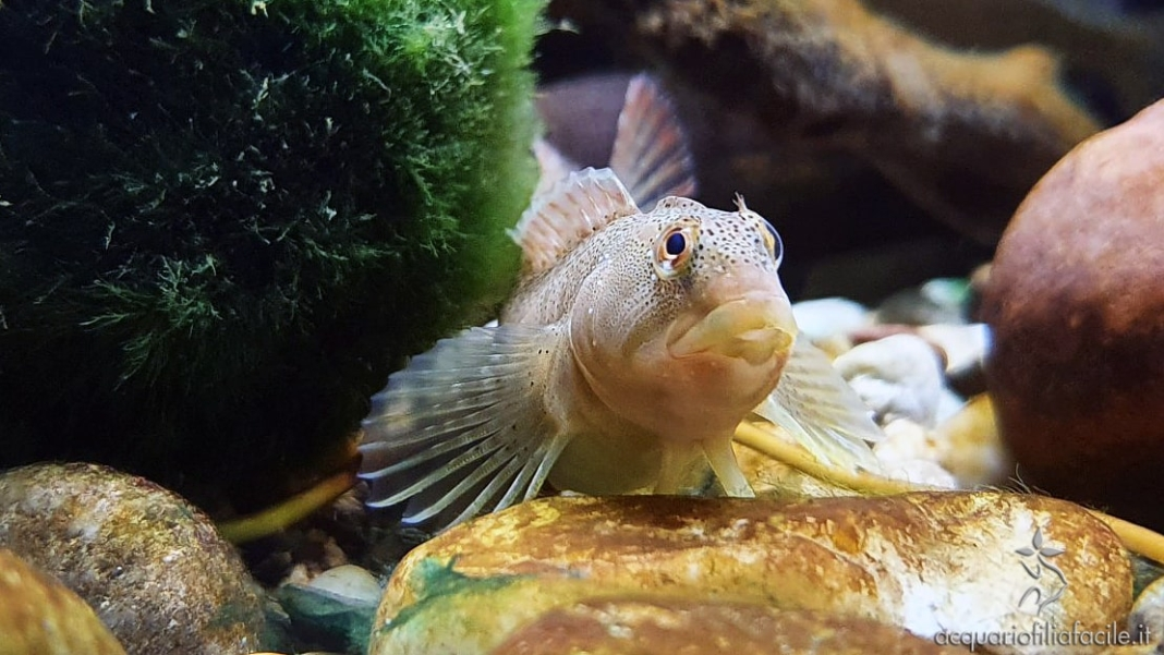 Salaria fluviatilis, o Cagnetta, un pesce nostrano per il nostro acquario