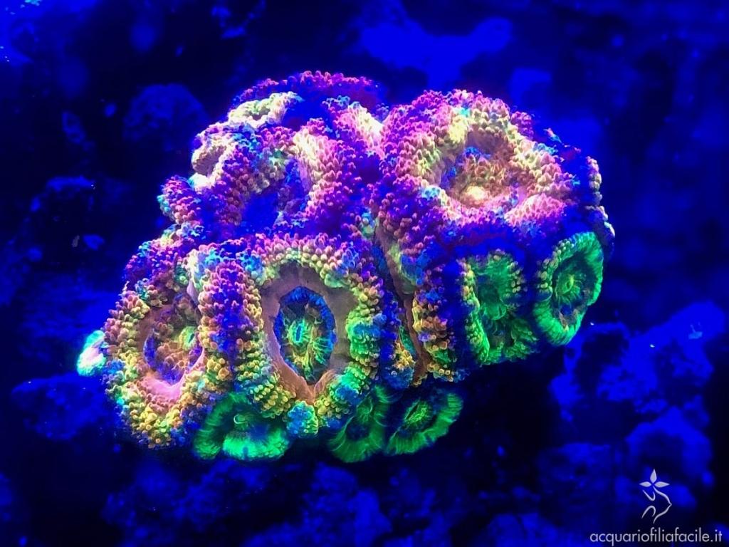 Acanthastrea rainbow, corallo duro LPS