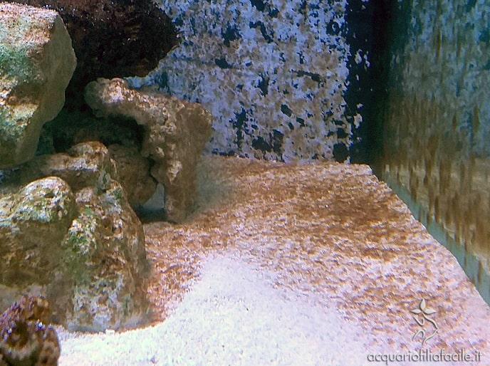 Diatomee durante la maturazione di un acquario marino tropicale